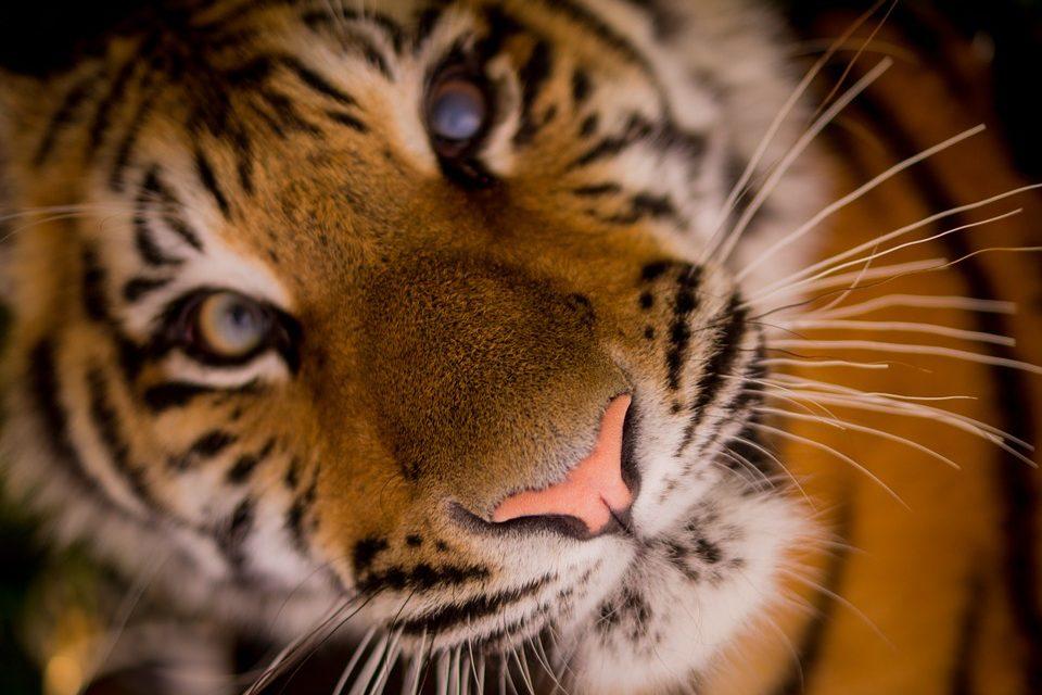 El Maestro tigre. Rolando Enrique Rosales Murga.
